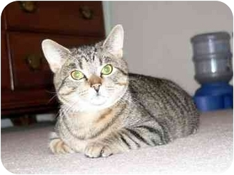 Domestic Shorthair Cat for adoption in Painesville, Ohio - Windsor