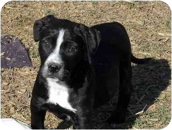 Boston Terrier/Retriever (Unknown Type) Mix Puppy for adoption in Glastonbury, Connecticut - Capone- new pictures