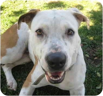 American Pit Bull Terrier/Pointer Mix Dog for adoption in Los Angeles, California - Taffeta