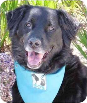 Flat-Coated Retriever Mix Dog for adoption in San Diego, California - Shana