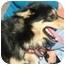 Photo 4 - Sheltie, Shetland Sheepdog Mix Dog for adoption in Osseo, Minnesota - Aaron