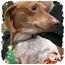 Photo 3 - Dachshund Dog for adoption in Harrisonburg, Virginia - Noodle