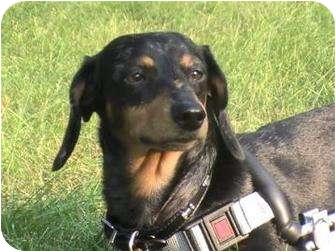 Dachshund Mix Dog for adoption in Toronto, Ontario - Grace