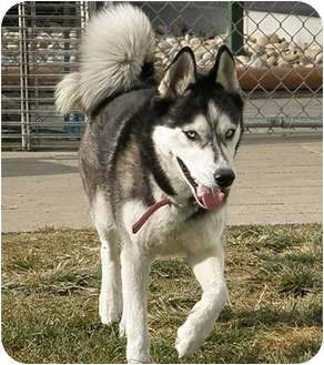 Husky Mix Dog for adoption in Meridian, Idaho - Kamali