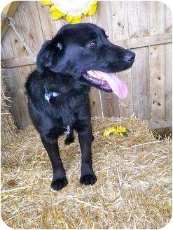 Retriever (Unknown Type) Mix Puppy for adoption in Metamora, Indiana - Pilot