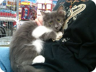 Domestic Longhair Kitten for adoption in Sterling Hgts, Michigan - Luna