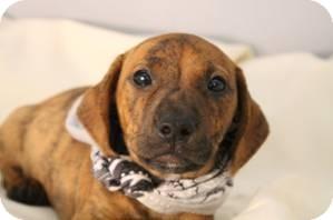 Labrador Retriever/Boxer Mix Puppy for adoption in Jarrettsville, Maryland - Wally