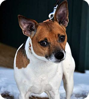 Jack Russell Terrier Mix Dog for adoption in Rhinebeck, New York - Koby