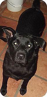 Labrador Retriever/Chow Chow Mix Dog for adoption in Key Biscayne, Florida - Debbie Reynolds