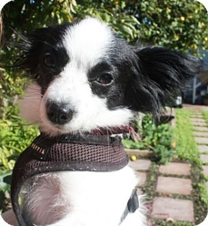Papillon Mix Dog for adoption in Castro Valley, California - Little Bit
