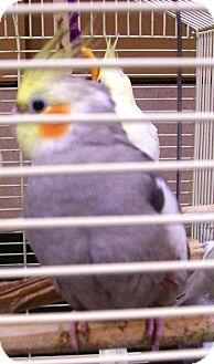 Cockatiel for adoption in Lenexa, Kansas - Cocoa