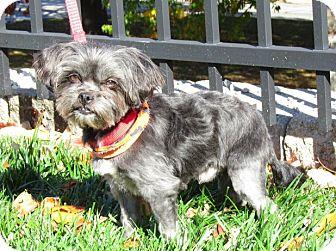 Shih Tzu Mix Dog for adoption in Overland Park, Kansas - Charlie