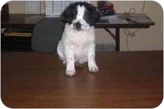 Siberian Husky/Border Collie Mix Puppy for adoption in Baton Rouge, Louisiana - Oliver