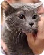 Russian Blue Cat for adoption in Hillside, Illinois - Daisy