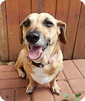 Dachshund/Welsh Corgi Mix Dog for adoption in Sedona, Arizona - Cinnamon