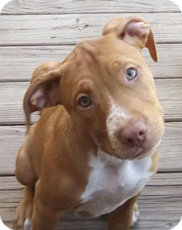 Retriever (Unknown Type)/American Staffordshire Terrier Mix Puppy for adoption in Rochester Hills, Michigan - Jax