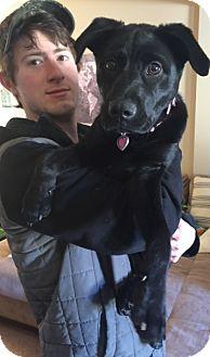Labrador Retriever/Hound (Unknown Type) Mix Puppy for adoption in Westport, Connecticut - Colby