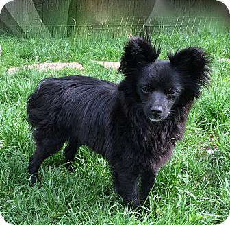 Papillon/Chihuahua Mix Dog for adoption in Englewood, Colorado - BOW-WOW