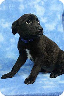 Labrador Retriever/Blue Heeler Mix Puppy for adoption in Westminster, Colorado - Tyler