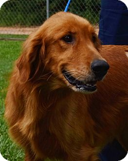 Golden Retriever Dog for adoption in New Canaan, Connecticut - Jackson