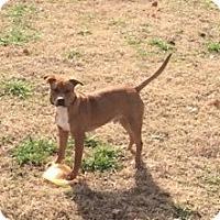 Adopt A Pet :: Chance - Greenville, SC