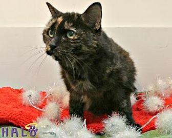 Domestic Shorthair Cat for adoption in Sebastian, Florida - Shelly