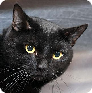 American Shorthair Cat for adoption in New Haven, Connecticut - SALEM