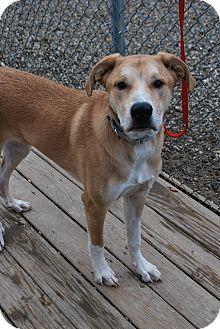 Labrador Retriever/Shepherd (Unknown Type) Mix Dog for adoption in Berea, Ohio - Max