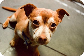 Chihuahua Mix Puppy for adoption in Meridian, Idaho - Ernie