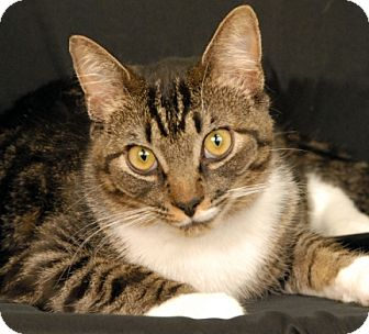 Domestic Shorthair Cat for adoption in Newland, North Carolina - Mitt