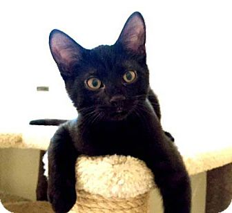 Domestic Shorthair Kitten for adoption in Lombard, Illinois - Benson