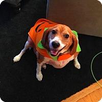 Adopt A Pet :: Polo - Prospect, CT