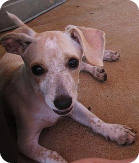 Chihuahua/Dachshund Mix Puppy for adoption in Portland, Maine - PIXIE