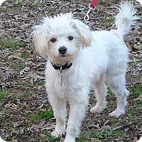 Adopt A Pet :: Cotton - Allentown, PA