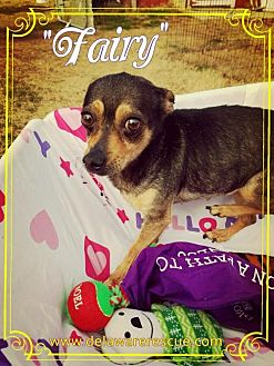 Chihuahua Dog for adoption in Seaford, Delaware - Fairy