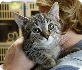 Domestic Shorthair Kitten for adoption in Greenfield, Indiana - Lala