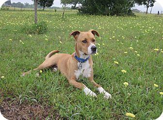 Boxer/Retriever (Unknown Type) Mix Dog for adoption in Houston, Texas - A - LUKE