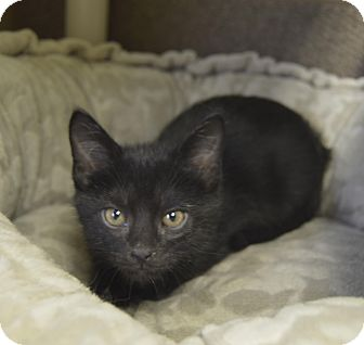 Domestic Shorthair Kitten for adoption in Germantown, Tennessee - Leo