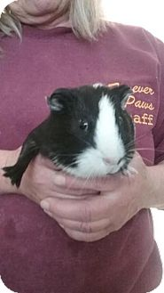 Guinea Pig for adoption in Fall River, Massachusetts - Ted