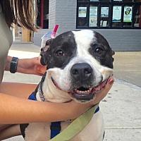 Pit Bull Terrier Dog for adoption in Landenberg, Pennsylvania - Domino