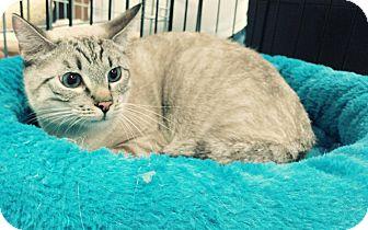 Siamese Cat for adoption in Yorba Linda, California - Chico