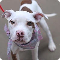 Adopt A Pet :: Matea - Fairfax Station, VA