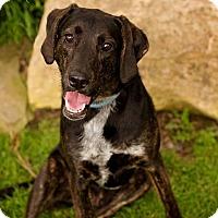 Adopt A Pet :: Boss (SPONSORED) - Springfield, MO