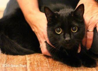 Domestic Mediumhair/Domestic Shorthair Mix Cat for adoption in Bedford, Virginia - Pokemon (aka: Arrow)