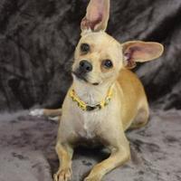 Chihuahua Mix Dog for adoption in Yucaipa, California - Pia