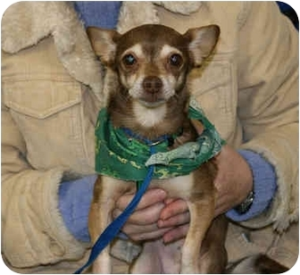 Chihuahua Dog for adoption in Overland Park, Kansas - Chloe