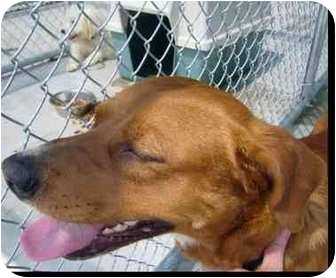 Labrador Retriever/Terrier (Unknown Type, Medium) Mix Dog for adoption in New Kent, Virginia - WHS Red dog