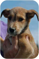 Airedale Terrier/Border Collie Mix Puppy for adoption in Somerset, Kentucky - Snickers