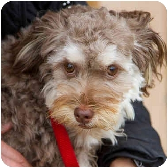 Miniature Poodle/Yorkie, Yorkshire Terrier Mix Puppy for adoption in Berkeley, California - Halo