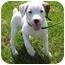 Photo 3 - Boxer Mix Puppy for adoption in Lake Odessa, Michigan - Mahoney
